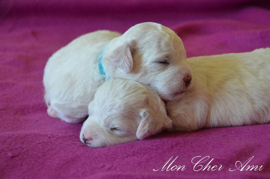 puppies 2 weeks mca.jpg