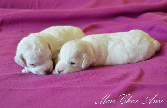 puppies 2 weeks-2 mca.jpg